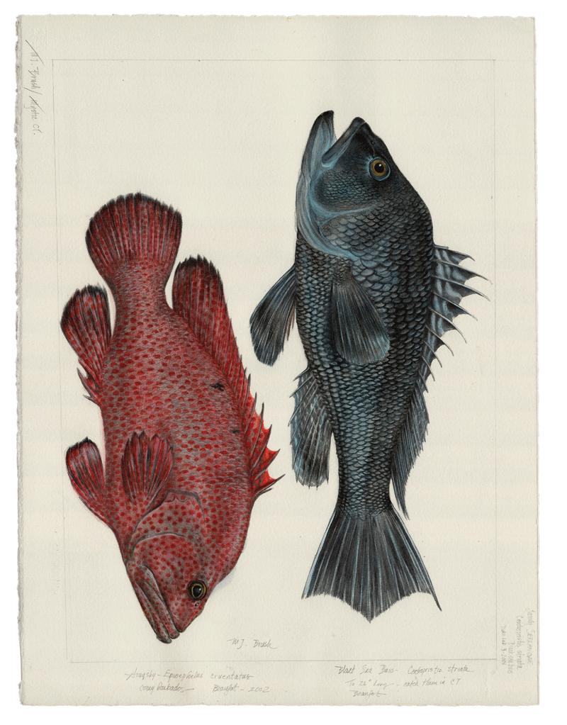 Black Sea Bass & Graysby