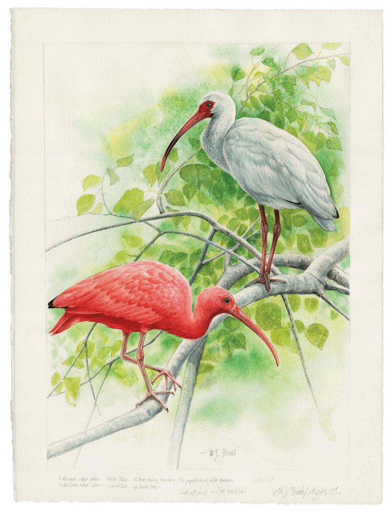 Ibis & Mangrove
